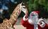 <b>과테말라 아기 기린과 산타 사육사</b><Br>19일(현지시간) 과테말라 수도 과테말라시티의 한 동물원에서 크리스마스를 맞아 산타 복장을 한 사육사가 아기 기린에게 당근을 주고 있다. 과테말라시티 AFP/연합뉴스