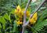 """<b>서천 국립생태원서 불교 3대 성수 """"무우수"""" 활짝</b><Br>충남 서천군 마서면 국립생태원 에코리움 열대관에 ''무우수''가 꽃을 피웠다. 무우수는 동남아시아 열대우림 해안에 분포하는 콩과 식물로, 인도보리수, 소레아 로부스타와 함께 불교에서 성스럽게 여기는 세 가지 나무 중 하나다. 2∼4월 오렌지색 꽃망울로 피기 시작해 시간이 지나면 노란색으로 변하고, 꽃이 질 무렵 붉은색으로 변한다.[국립생태원 제공] 연합뉴스"""