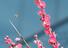 <b>바쁜 벌</b><Br>24일 낮 최고 기온이 17.7도를 보인 경북 포항에서 활짝 핀 홍매화나무 꽃 사이로 벌이 돌아다니고 있다. 연합뉴스