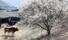 <b>봄이 왔소?</b><br>절기상 만물이 겨울잠에서 깨어난다는 경칩인 5일 오후 경남 의령군 한 농가에서 소가 개화한 매화를 바라보고 있다. 연합뉴스