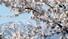 <B>봄과 겨울의 공존</b><Br>전날 밤 내린 눈이 쌓인 설악산 대청봉과 영랑호변에 만개한 벚꽃이 어울려 2일 오전 한폭의 풍경화를 연출하고 있다. 연합뉴스