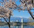 <B>여기는 봄, 저기는 겨울</b><Br>전날 밤 내린 눈이 쌓인 설악산 고지대와 영랑호변에 만개한 벚꽃이 어울려 2일 오전 한폭의 풍경화를 연출하고 있다. 연합뉴스