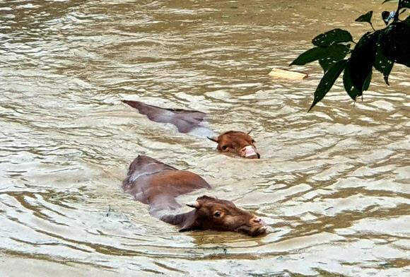 8일 전남 구례지역에 내린 폭우로 침수된 축사를 탈출한 소떼가 흙탕물 속을 헤엄치며 빠져나오고 있다. 구례 지역은 이틀새 300mm가 넘는 폭우가 쏟아지면서 도로와 농경지가 침수되는 등 피해가 잇따르고 있다. 연합뉴스