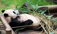 희귀 동물 '판다' 국내 첫 자연번식 성공