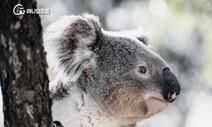 [카드뉴스] 호주 코알라를 덮친 기후종말의 미래