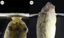 올챙이의 새로운 호흡법, 공기 방울 흡입