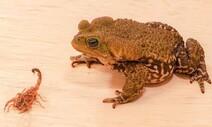 브라질 도심 출몰 '전갈 공포', 두꺼비로 잠재울까