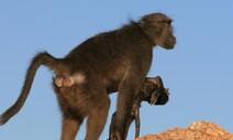 개코원숭이는 왜 죽은 새끼를 열흘씩 돌보나