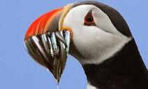 까나리는 바닷새부터 고래까지 먹여 살린다