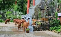 소떼가 섬진강 홍수 피해 해발 531m 사성암까지 올라왔다
