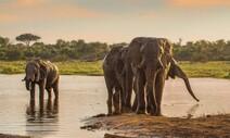 쓸모없다고? 코끼리 사회에서 늙은 수컷도 중요하다