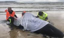 오스트레일리아 해안서 고래 460마리 좌초, 구조작업 온 힘