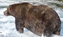올해의 '뚱보' 곰으로 '747' 선정 …몸무게 640kg에 달해