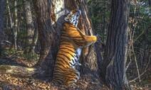 전나무 끌어안은 호랑이의 '황홀경'