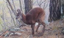 '멸종위기 1급' 사향노루 포착…서식지 보호 시급
