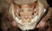 마스크 쓴 박쥐, 짝짓기 때만 벗는다