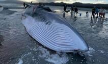 뉴질랜드서 '30톤 고래' 해변 모래톱에 걸려 숨져