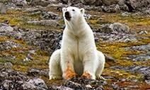 흰 북극곰의 '샛노란 앞발'…굶주림에 오리알 깨먹고 연명
