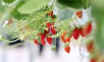 인공지능 vs 농부…딸기 재배 대결 누가 이겼을까
