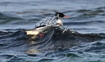 '잠수 사냥꾼' 비오리는 아야진 찬 바다에서 파도를 탄다