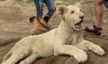 남아공 '트로피 사냥' 위한 사자 농장번식 금지 추진