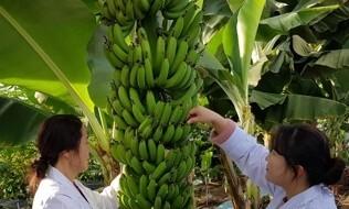 이 추위에 '대구 바나나' 300㎏ 첫 수확…시험재배 성공