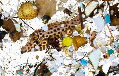 갓 태어난 물고기가 몰려 사는 해안의 띠 모양 수역에는 먹이인 플랑크톤과 함께 미세플라스틱도 몰려든다. 전 세계 어업에 경종을 울리는 현상이다. 데이비드 리트쉬바거 제공.