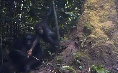 침팬지들도 '도구 사용법' 교육한다