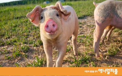 돼지가 푸대접 받는 '인간적'인 이유들