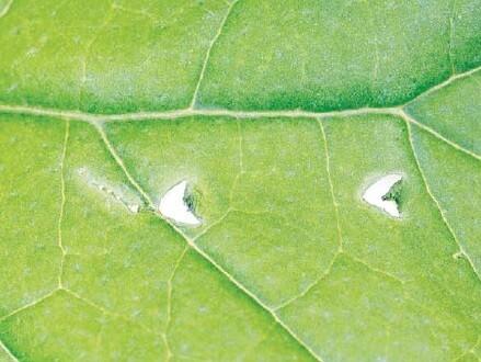 꽃가루를 얻지 못한 뒤영벌이 가지 잎에 남긴 손상 모습. 파살리두 외 (2020) '사이언스' 제공.