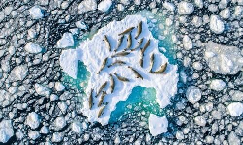 올해 최고의 자연사진 '표류하는 얼음 위 바다표범 20마리'