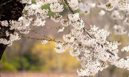 벚꽃은 내년에도 피지만, 생명은…그래도 북적한 경기 팔달산