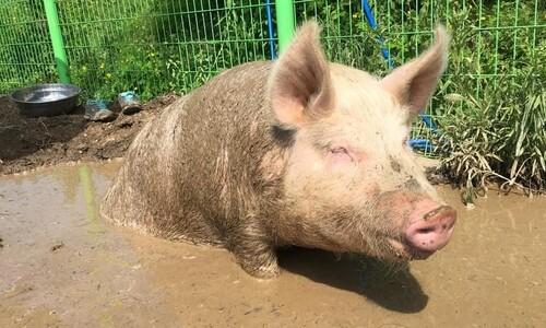 농장서 구조된 돼지 새벽이의 '다른 삶'이 시작됐다