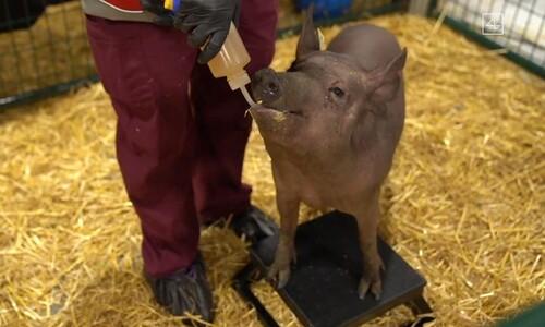 머스크, 뇌에 뉴럴링크 칩 심은 돼지 공개