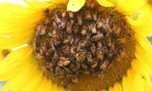 """""""물어와"""" 명령, 꿀벌에도 효과 있네"""