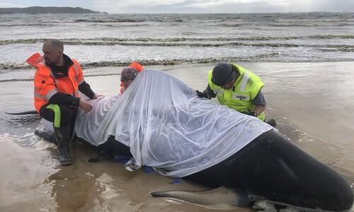 호주 해안서 고래 460마리 좌초, 구조작업 온 힘