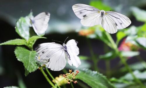 봄의 전령 나비