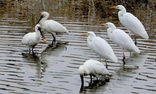 노랑부리저어새와 백로의 겨울