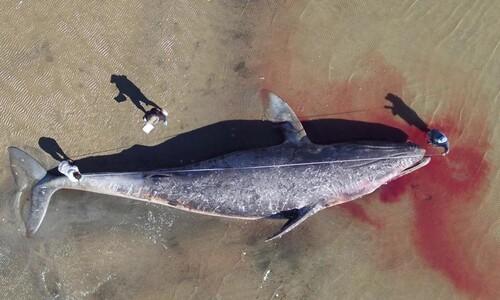 귀신고래 384마리 굶어죽어…온난화 재앙 '사망 사태' 선포