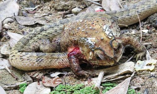두꺼비 통째로 삼키지 않는 뱀 발견…'죽음의 회전'하는 이유