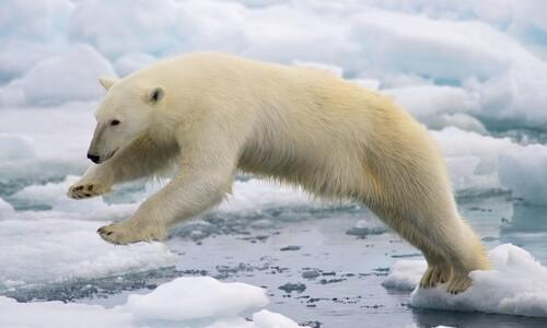 물범 대신 기러기알 200개? 북극곰의 고민