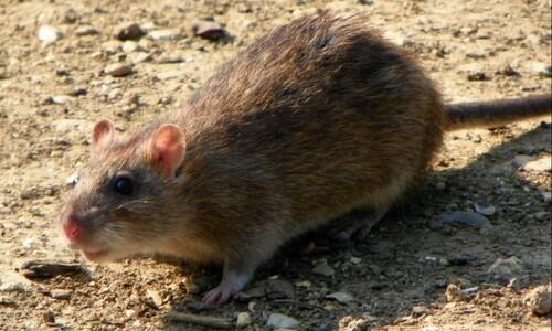 쥐 사라진 '쥐 섬'에서 11년 뒤 벌어진 일