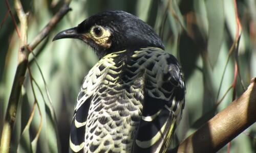 멸종 전조? '유혹의 노랫말' 까먹은 호주 꿀빨기새