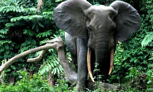 아프리카코끼리 멸종위기 등급 '위급' 격상