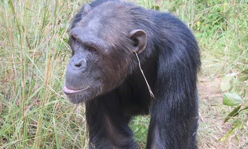 침팬지 '지푸라기 패션'...동물 문화 폭넓다