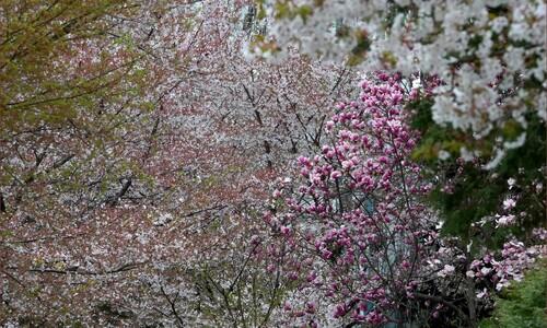 올해도 어김없이 벚꽃 엔딩