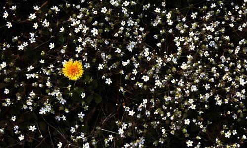 봄맞이꽃이 별들에게
