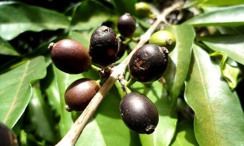 기후위기에 내몰린 위기의 커피산업 구할 커피종 찾았다