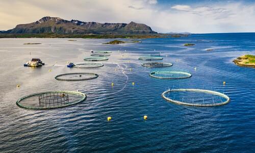 연어 양식장에 넣는 수천만 청소 물고기 '노예'