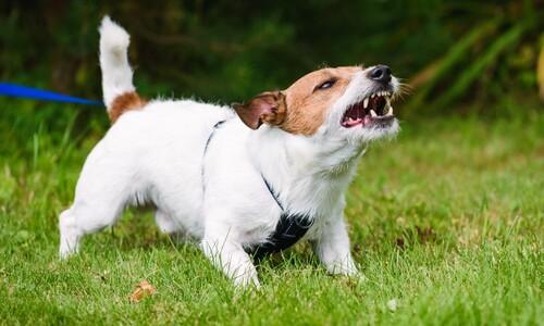 겁먹은 개, 작은 개가 더 잘 문다